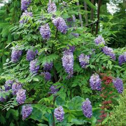 Wisteria frutescens 'Amethyst Falls' - Blauwe regen