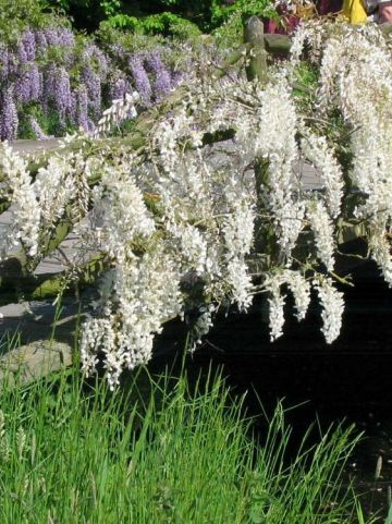 Wisteria sinensis 'Alba' -  Witte regen