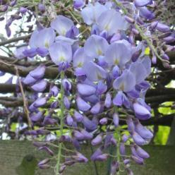 Wisteria sinensis 'Prolific' - Blauwe regen