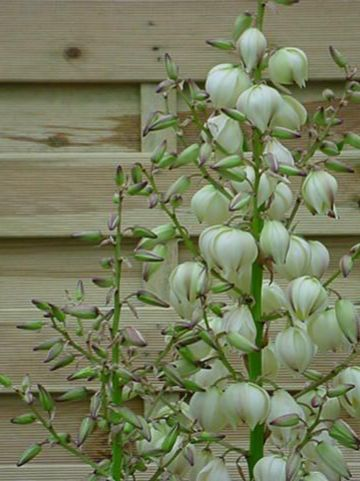 Yucca gloriosa 'Variegata' - Palmlelie