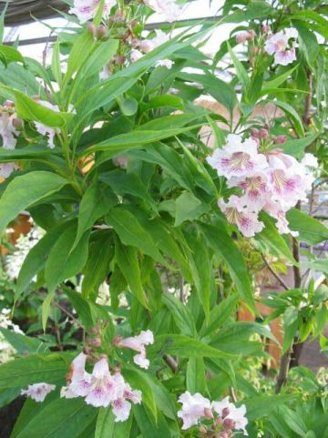 × Chitalpa tashkentensis  -