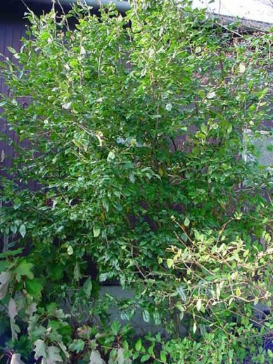 × Sycoparrotia semidecidua  -