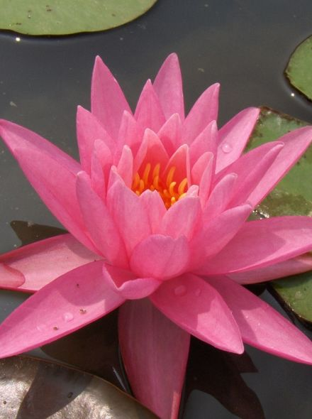 Nymphaea Rose Arey (barbie roze waterlelie) per 4 stuks