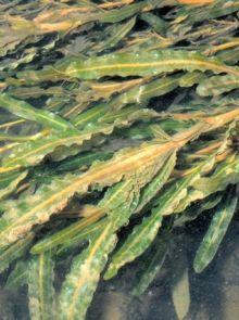 Potamogeton crispus (Gekruld fonteinkruid) per 5 bundels