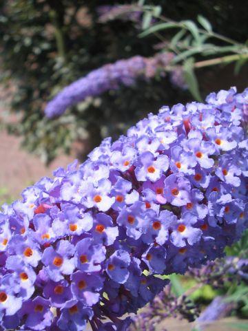 Buddleja davidii 'Nanho Blue' - Vlinderstruik