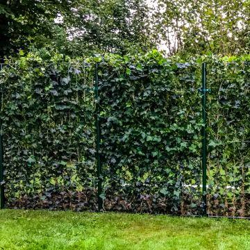 Met een kant-en-klare klimop haag zit meteen vrij in je tuin!