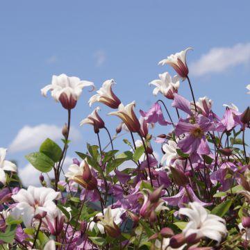 Alles wat je moet weten bij het aanplanten van Clematissen