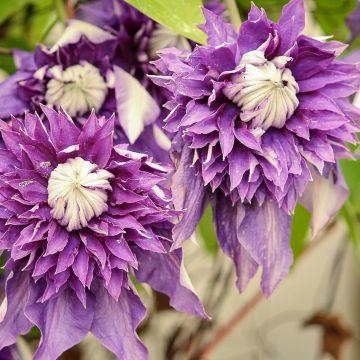 Een bloeiende tuinafscheiding met Clematissen!
