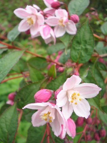 Deutzia purpurascens 'Kalmiiflora' - Bruidsbloem