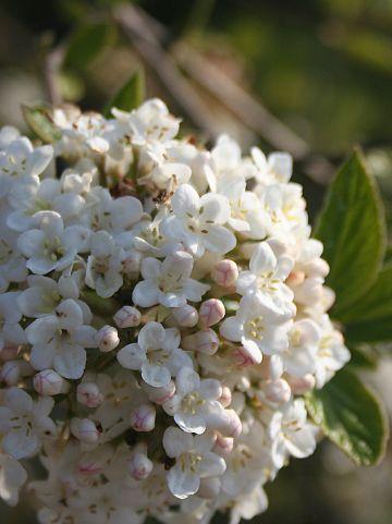 Viburnum burkwoodii 'Park Farm Hybrid' - Sneeuwbal
