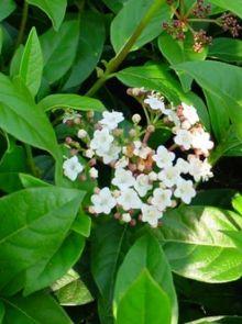 Viburnum tinus 'Eve Price' (Wintergroene Lauriersneeuwbal meeneemhaag)