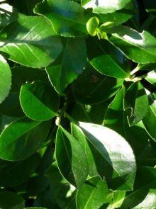Euonymus japonicus (Japanse kardinaalsmuts, Kardinaalshoed meeneemhaag)