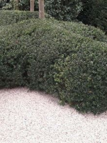 Ilex crenata 'Dark Green' (Japanse of Chinese hulst, buxus vervanger)