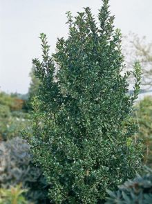 Ilex meserveae 'Heckenpracht' (Amerikaanse hulst, Buxusvervanger)