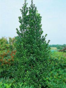 Ilex meserveae 'Heckenstar' (Amerikaanse hulst, Buxusvervanger)