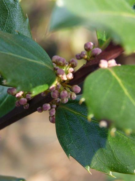Ilex meserveae 'Blue Prince' (Amerikaanse hulst, Buxus vervanger)