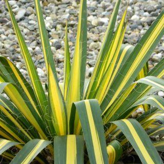 Yucca flaccida 'Golden Sword' (Palmlelie)