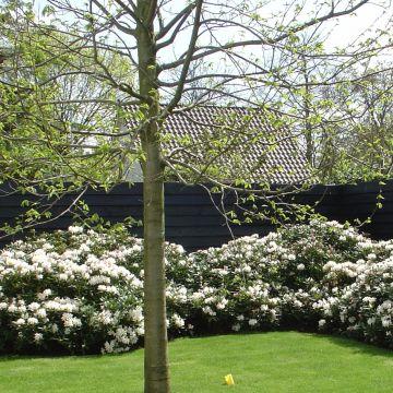 Rhododendronhaag in natuurlijke of strakke vorm