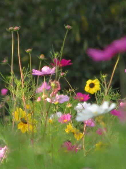 Vrolijke kleurtjes (pluktuin bloemen 10 m2)