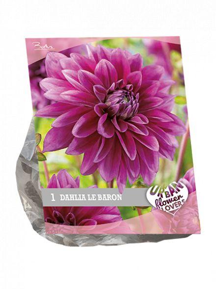 Dahlia Le Baron (paars, Urban Flowers serie)