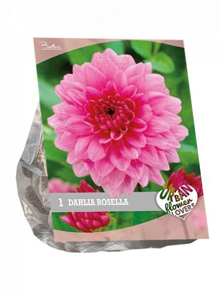 Dahlia Rosella (roze, Urban Flowers serie)