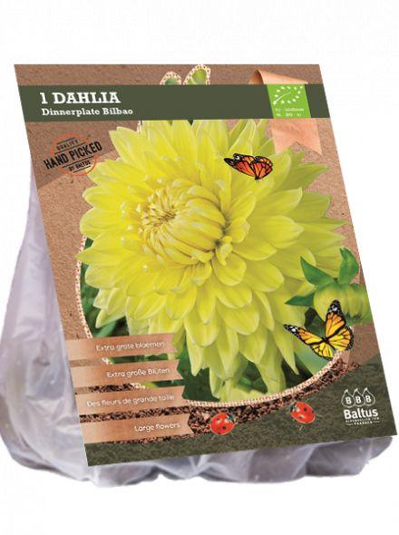 Dahlia Bilbao (gele dinnerplate dahlia, grote bloemen, Biologisch geteeltlogisch geteelt)