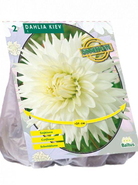 Dahlia Kiev (witte dinnerplate dahlia, grote bloemen, Biologisch geteelt)