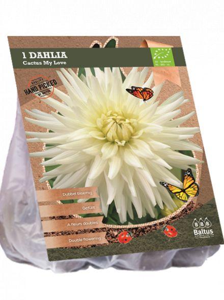 Dahlia My Love (witte Cactusdahlia, Biologisch geteelt)