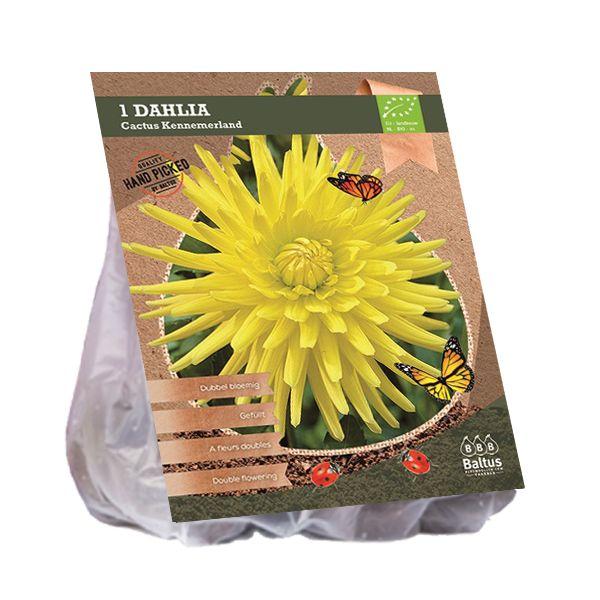 Dahlia Kennemerland (gele Cactusdahlia, Biologisch geteelt)