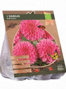 Dahlia Sandra (roze ball dahlia, Biologisch geteelt)
