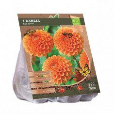 Dahlia Sylvia (oranje ball dahlia, Biologisch geteelt)