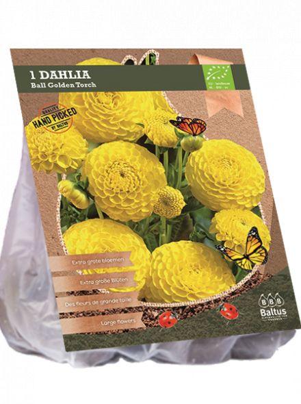 Dahlia Golden Torch (gele ball dahlia, Biologisch geteelt)