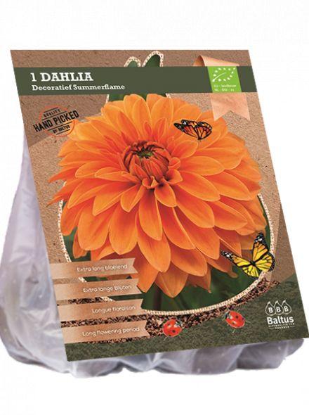 Dahlia Summerflame (oranje decoratief-bloemige dahlia, Biologisch geteelt)