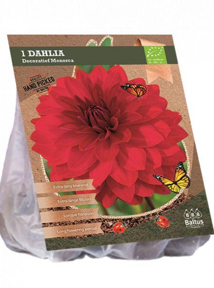 Dahlia Menorca (rode decoratief-bloemige dahlia, Biologisch geteelt)