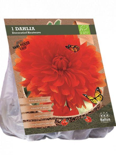 Dahlia Heatwave (rode decoratief-bloemige dahlia, Biologisch geteelt)