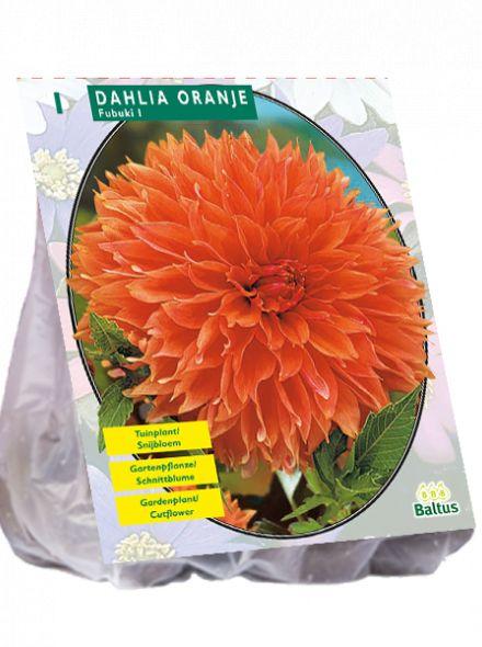 Dahlia fubuki Orange (oranje decoratief-bloemige dahlia)