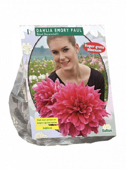 Dahlia Emory Paul (roze decoratief-bloemige dahlia)