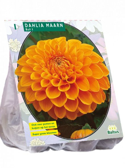 Dahlia Maarn (oranje ball dahlia)