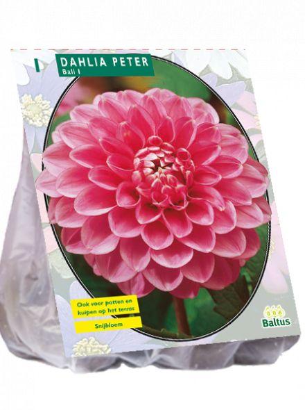 Dahlia Peter (roze ball dahlia)