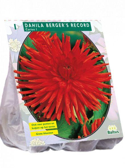 Dahlia Berger's Record (rode Cactusdahlia)