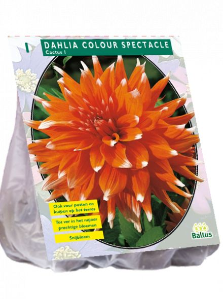 Dahlia Colour Spectacle (oranje Cactusdahlia)