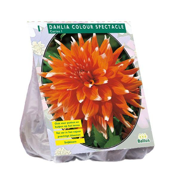 Dahlia Colour Spectacle (oranje Cactusdahlia)