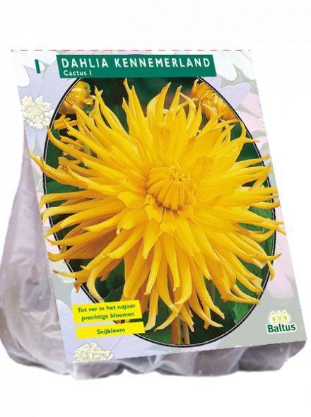 Dahlia Kennemerland (gele Cactusdahlia)