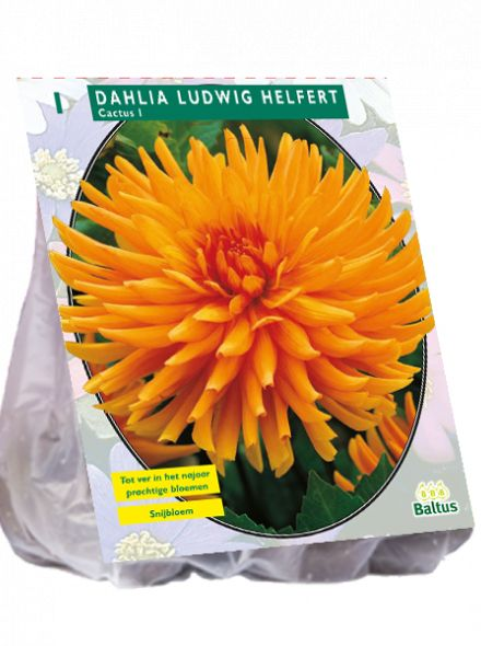 Dahlia Ludwig Helfert (oranje Cactusdahlia)