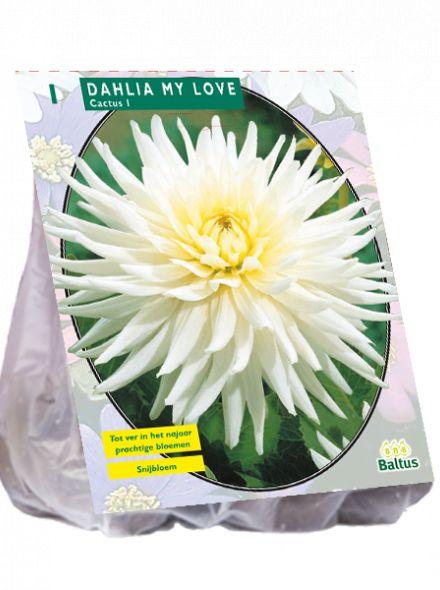 Dahlia My Love (witte Cactusdahlia)