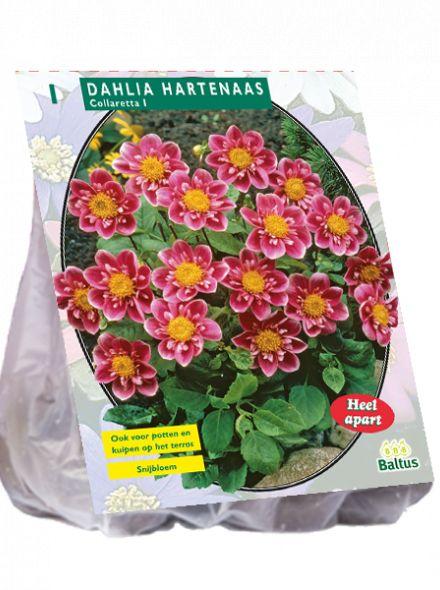 Dahlia Hartenaas (roze collarette dahlia, halskraagdahlia)