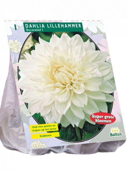 Dahlia Lillehammer (witte decoratief-bloemige dahlia)