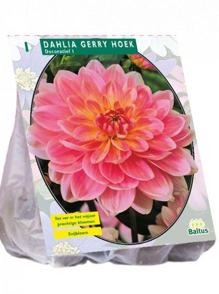 Dahlia Gerry Hoek (Gerrie Hoek, roze decoratief-bloemige dahlia)