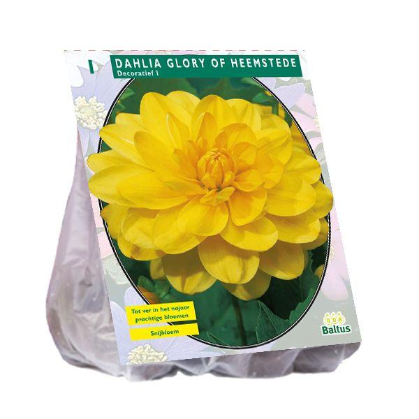 Dahlia Glory of Heemstede (gele decoratief-bloemige dahlia)