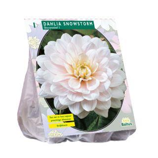 Dahlia Snowstorm (witte decoratief-bloemige dahlia)